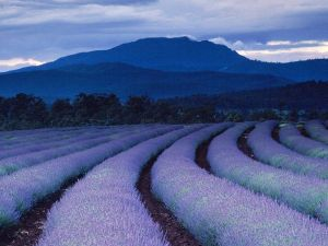 purple-fields-ludwig_1490_600x450
